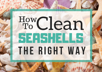 How to clean seashells the easy way(1)
