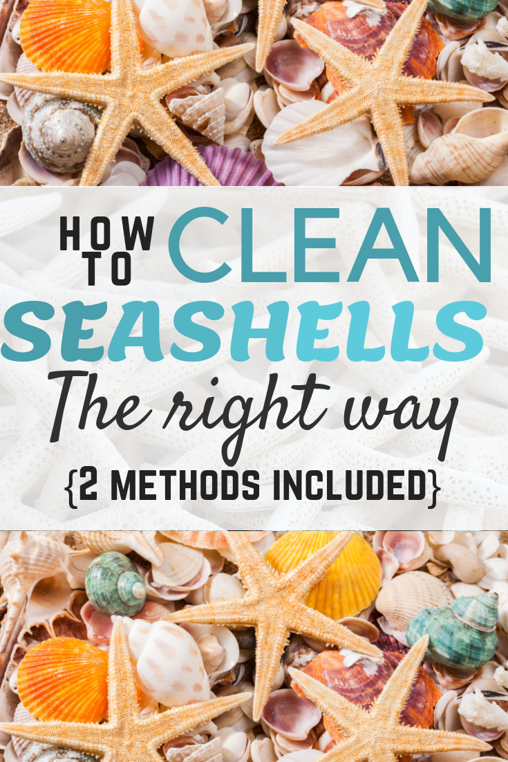 How to clean seashells the right way no smells